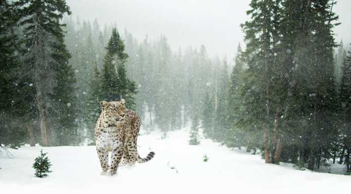Nieve Snow